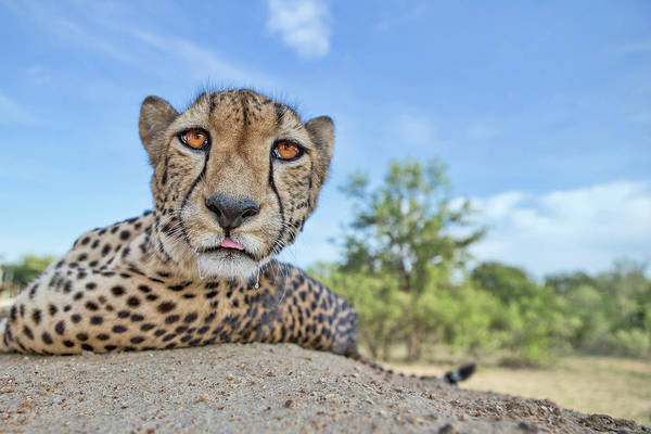 Feline Photograph - Hungry Cheetah by Alessandro Catta