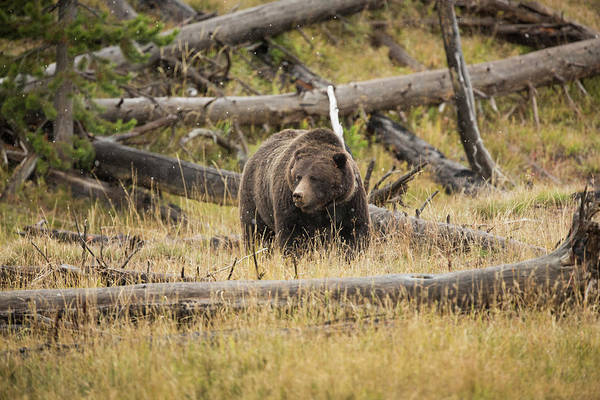 Grizzly Bears Photograph - Hungry Grizzly Bear by © J. Bingaman Photography