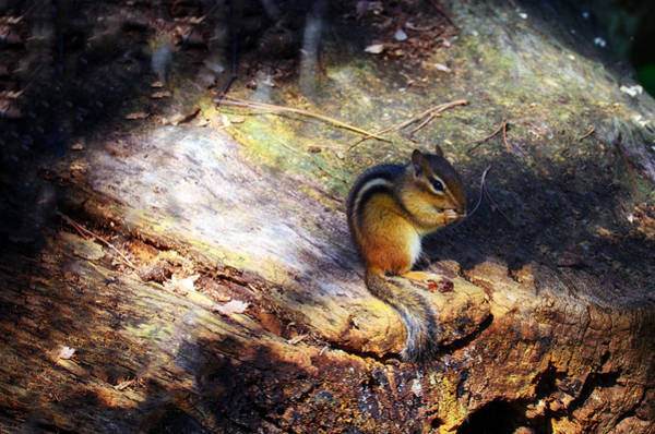 Chipmunk Wall Art - Photograph - Hungry by Mark Papke