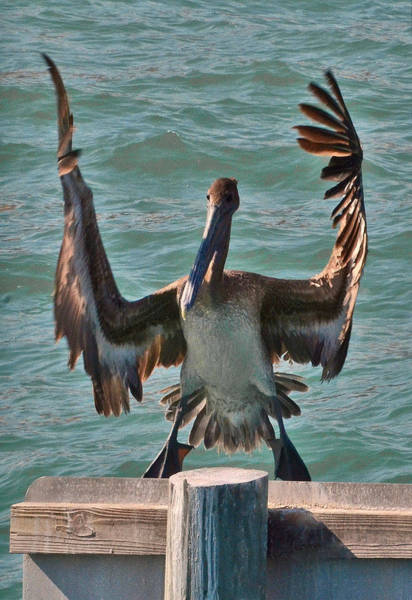 Photograph - Hungry Pelican by Mae Wertz