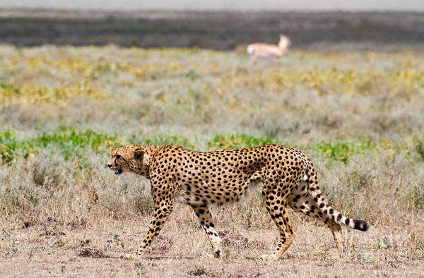 Photograph - Hungry Red Cheetah by Chris Scroggins