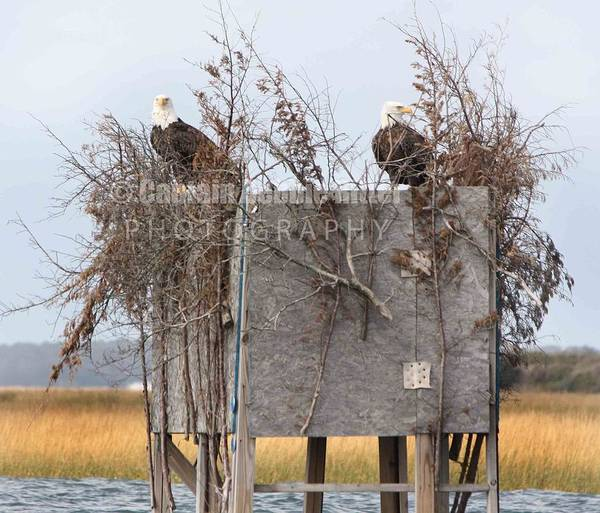 Encounter Bay Photograph - Hunter In The Blind by Captain Debbie Ritter