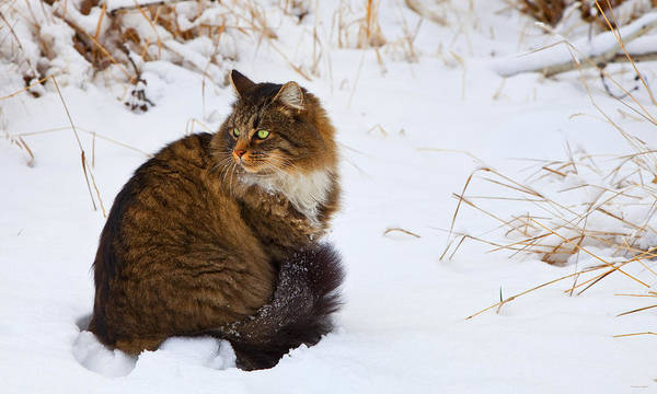 Long Hair Cat Photograph - Hunter by Theresa Tahara
