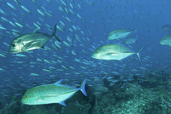 Trevally Photograph - Hunting Giant Trevally And Bluefin by Ifish