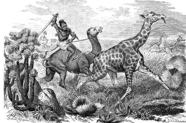 Engraving Photograph - Hunting Giraffe by Bildagentur-online/tschanz
