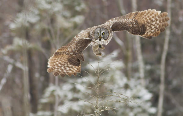 Wing Back Photograph - Hunting Great Grey Owl by Mircea Costina Photography