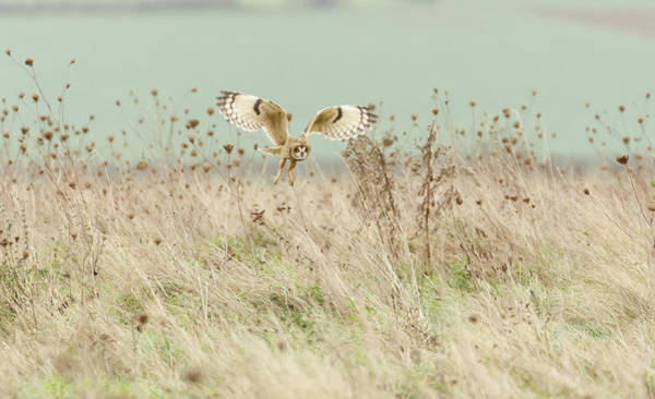 Wild Grass Photograph - Hunting Short Eared Owl by Prashant Meswani
