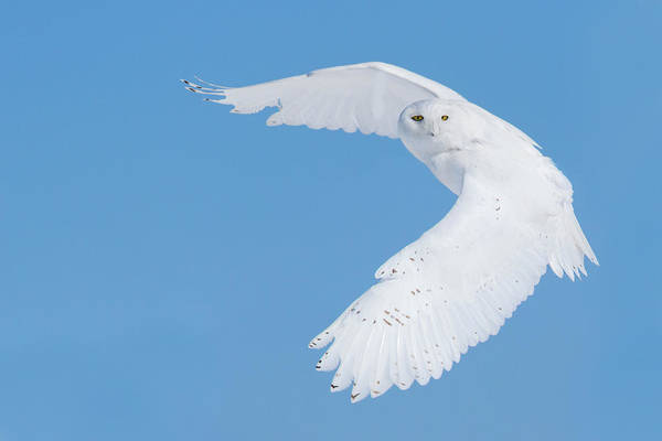 Flying Bird Photograph - Hunting Snowy Owl by Mircea Costina