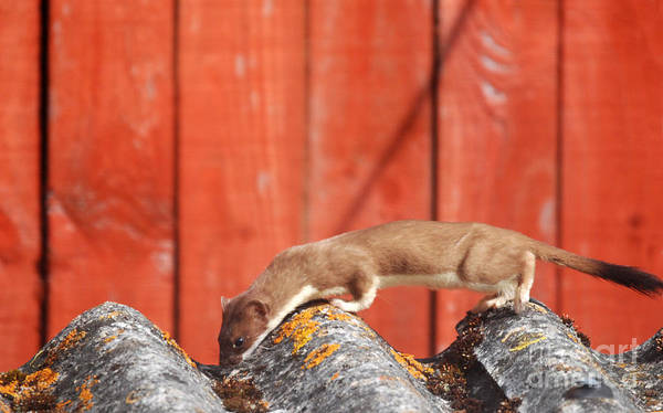 Photograph - Hunting Stoat  by Phil Banks