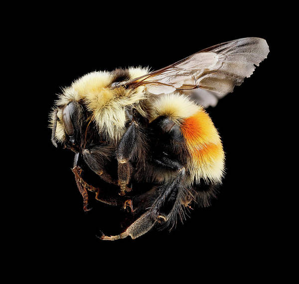 Image Stacking Photograph - Hunt's Bumblebee by Us Geological Survey