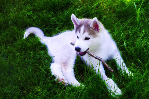 Fetch Photograph - Huskie Pup Playing Fetch by Bill Cannon