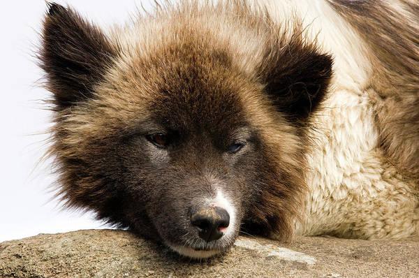 Conserved Photograph - Husky Dog, Tasiilaq (ammassalik by Daisy Gilardini