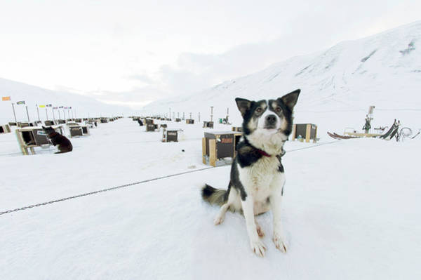 Canis Lupus Photograph - Husky Dogs And Kennels by Louise Murray