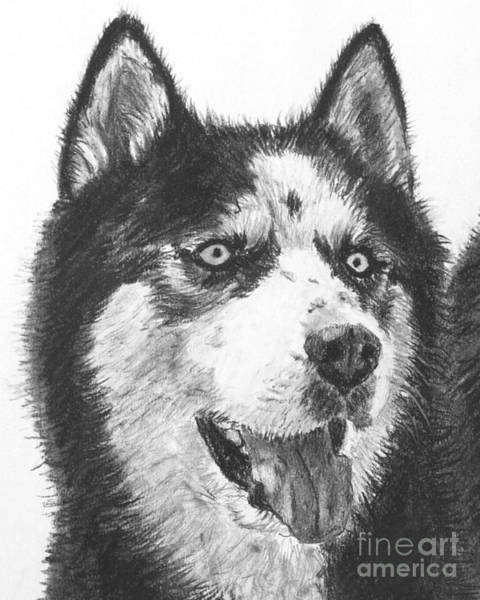 Drawing - Husky Drawing by Kate Sumners