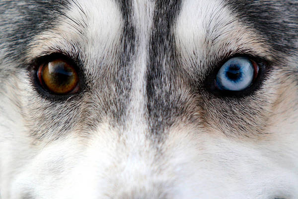 Photograph - Husky Eyes by Keith Allen