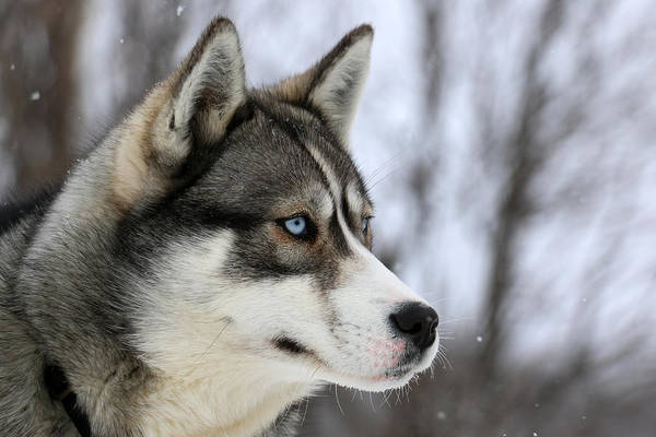 Husky Looking Away, Quebec, Canada Art Print by Jonathan