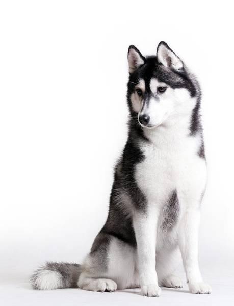 Husky On White Art Print by JanekWD
