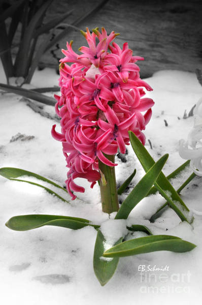 Photograph - Hyacinth In The Snow by E B Schmidt
