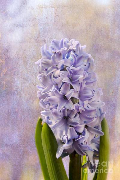 Photograph - Hyacinth by Karin Pinkham