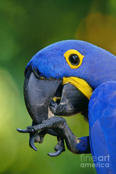 Photograph - Hyacinth Macaw Anodorhynchus by Frans Lanting MINT Images
