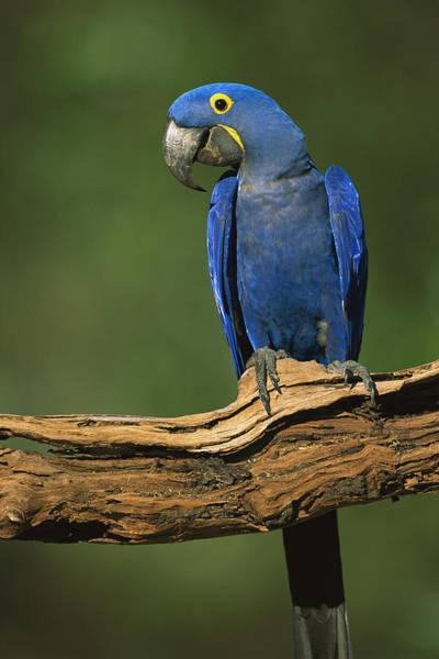 Photograph - Hyacinth Macaw Brazil by Pete Oxford