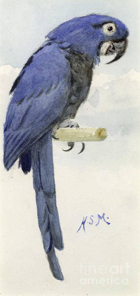 Audubon Wall Art - Painting - Hyacinth Macaw by Henry Stacey Marks