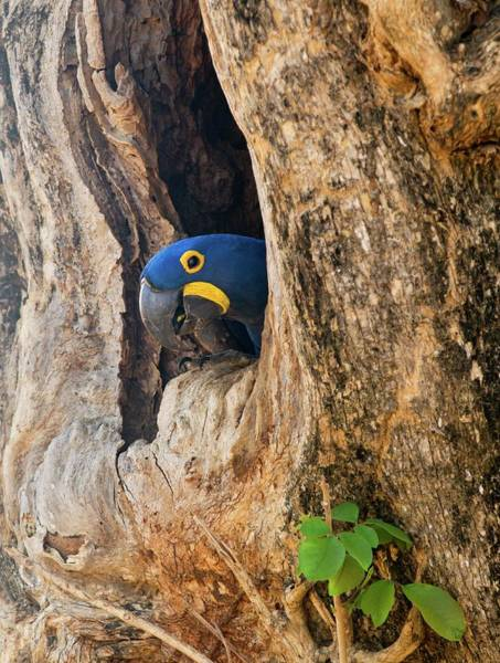 Hyacinth Macaw Photograph - Hyacinth Macaw In A Tree by John Devries/science Photo Library