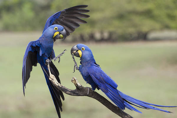 Hyacinth Macaw Photograph - Hyacinth Macaw Pair Fighting Pantanal by Suzi Eszterhas
