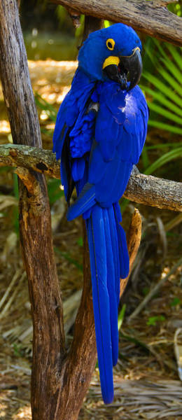 Photograph - Hyacinth Macaw by Penny Lisowski