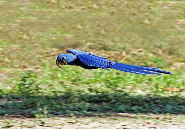Hyacinth Macaw Photograph - Hyacinth Macaw by Tony Camacho/science Photo Library