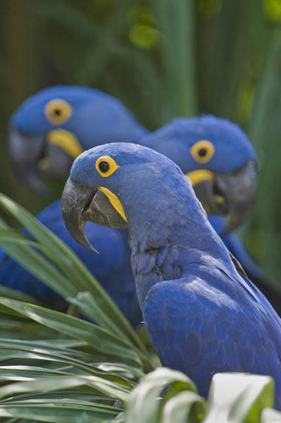 Hyacinth Macaw Photograph - Hyacinth Macaws Anodorhynchus by Panoramic Images