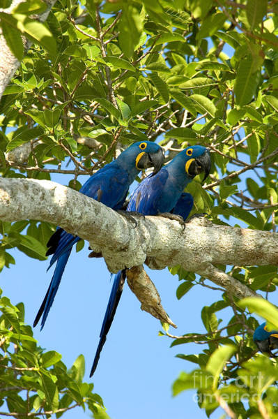 Hyacinth Macaw Photograph - Hyacinth Macaws Brazil by Gregory G Dimijian MD