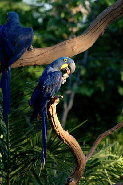 Hyacinth Macaw Photograph - Hyacinth Macaws Gather And Eat Nuts by Jan and Stoney Edwards