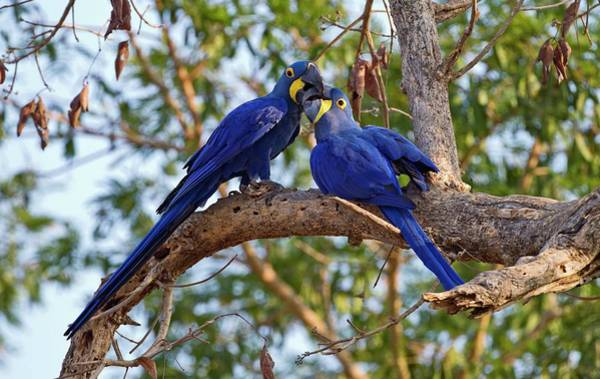 Hyacinth Macaw Photograph - Hyacinth Macaws In A Tree by John Devries/science Photo Library