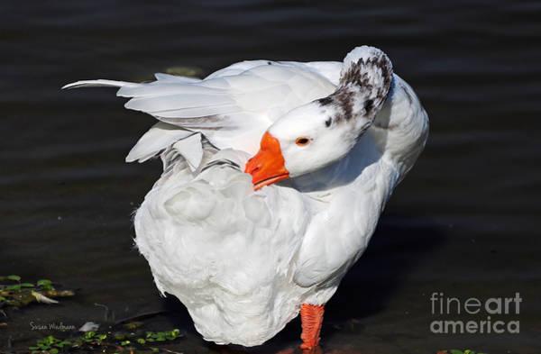 Hybrid Goose Grooming After A Swim Art Print