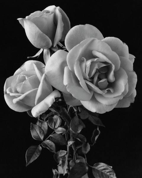 Fragility Photograph - Hybrid Tea California Roses by Edwin T. Merchant
