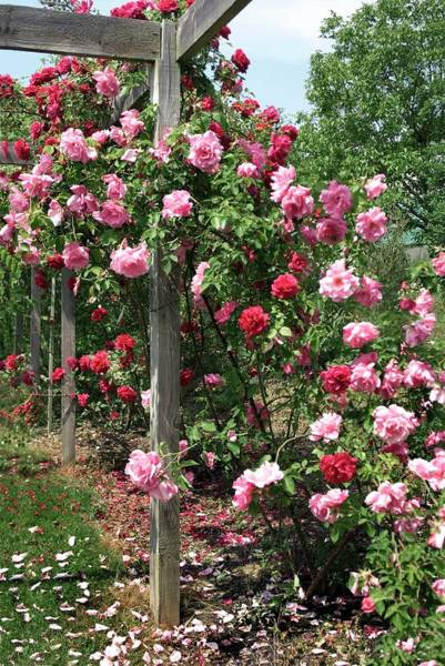 Rose In Bloom Photograph - Hybrid Tea (gregoire Staechlin) by Brian Gadsby/science Photo Library
