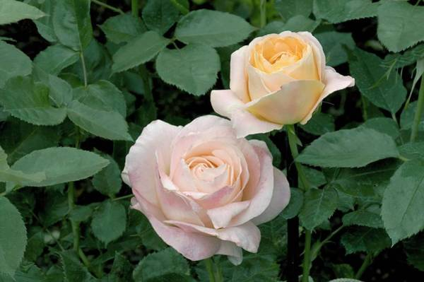 Rose In Bloom Photograph - Hybrid Tea (isabelle Autissier) by Brian Gadsby/science Photo Library