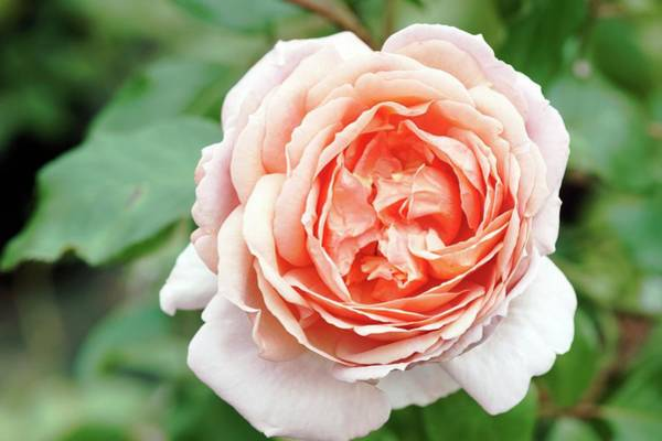 Rose In Bloom Photograph - Hybrid Tea (jade) by Brian Gadsby/science Photo Library
