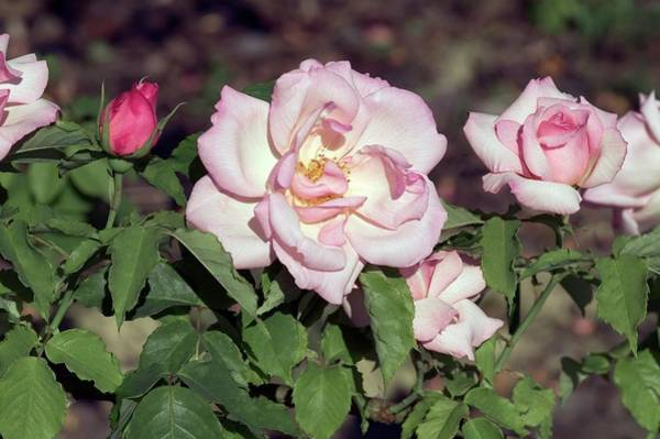 Rose In Bloom Photograph - Hybrid Tea (lady Waterlow) by Brian Gadsby/science Photo Library