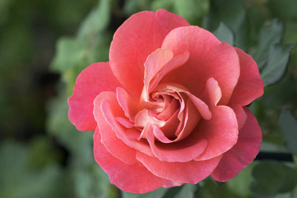 Belle Epoque Photograph - Hybrid Tea Rose (rosa 'belle Epoque') by Brian Gadsby/science Photo Library