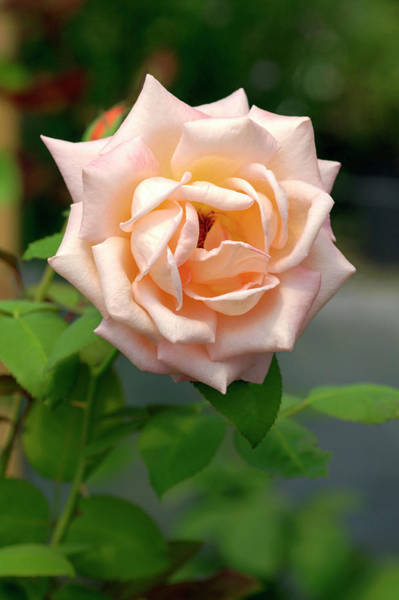 Hybrid Rose Photograph - Hybrid Tea Rose (rosa 'ecole D' Ecully') by Brian Gadsby/science Photo Library