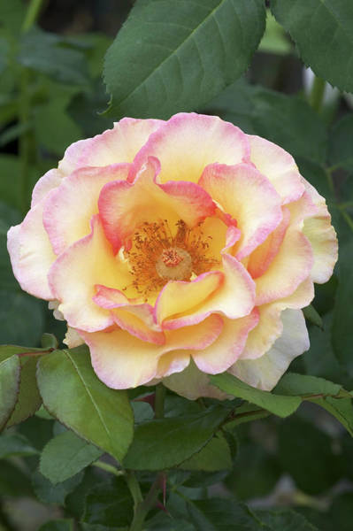 Jules Verne Wall Art - Photograph - Hybrid Tea Rose (rosa 'jules Verne') by Brian Gadsby/science Photo Library