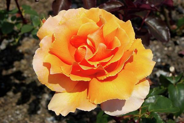 Hybrid Rose Photograph - Hybrid Tea Rose (rosa 'just Joey') by Neil Joy/science Photo Library