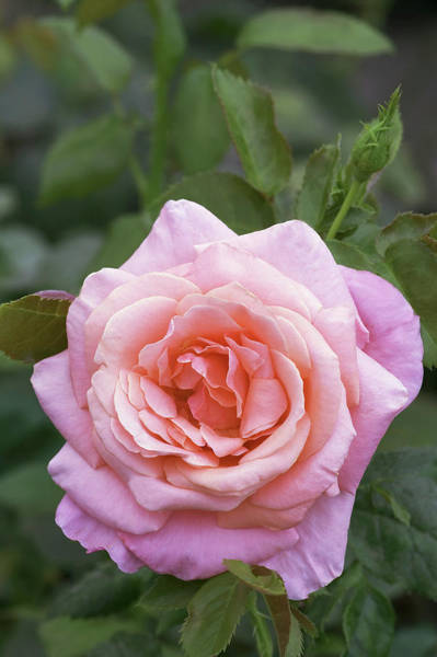 Hybrid Rose Photograph - Hybrid Tea Rose (rosa 'silver Jubilee') by Brian Gadsby/science Photo Library