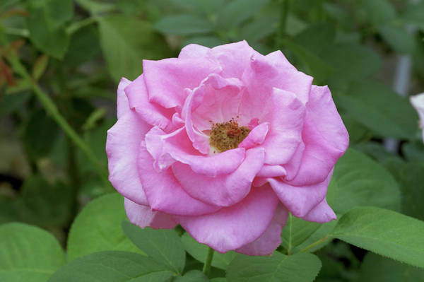 Hybrid Rose Photograph - Hybrid Tea Rose (rosa 'ultimate Pink') by Brian Gadsby/science Photo Library