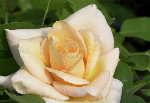 Perfume Photograph - Hybrid Tea Rose (rosa 'vanilla Perfume') by Brian Gadsby/science Photo Library