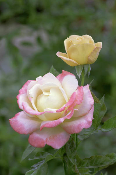 Hybrid Rose Photograph - Hybrid Tea Rose (rosa 'vendee Imperial') by Brian Gadsby/science Photo Library
