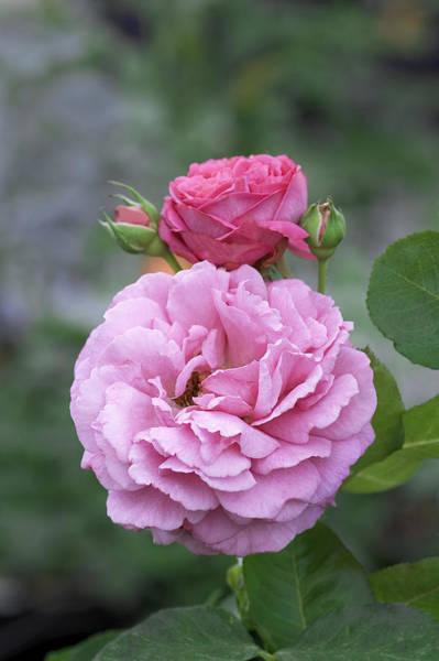 Hybrid Rose Photograph - Hybrid Tea Rose (rosa 'yves Piaget') by Brian Gadsby/science Photo Library