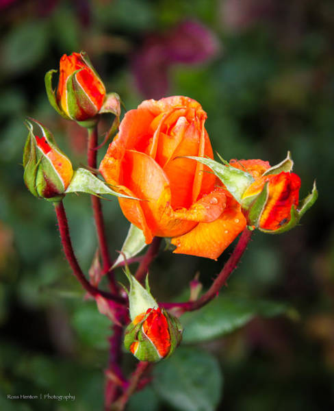 Photograph - Hyde Park Roses by Ross Henton